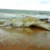 Baleia Jubarte é encontrada morta na barra, em Alcobaça; barcaças da FIBRIA podem ter causado a morte do mamífero